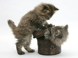 Two Maine Coon Kittens Playing with a Basket Photographic Print by Mark Taylor