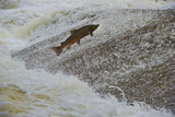 Atlantic Salmon (Salmo Salar) Leaping Up the Cauld at Philphaugh Centre Near Selkirk, Scotland, UK Photographic Print by Rob Jordan