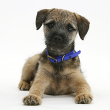 Border Terrier Bitch Puppy, Kes, Lying with Head Up Photographic Print by Mark Taylor