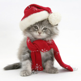 Maine Coon Kitten Wearing a Father Christmas Hat and Scarf Photographic Print by Mark Taylor