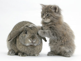 Maine Coon Kitten, 7 Weeks, Playing with Agouti Lop Rabbit Photographic Print by Mark Taylor