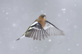 Chaffinch (Fringilla Coelebs) Male in Flight in Snow. Glenfeshie, Scotland, February Photographic Print by Peter Cairns