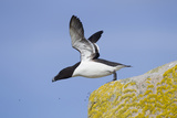 Razorbill (Alca Torda) Taking Off from Cliff. June 2010 Photographie par Peter Cairns