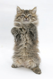 Maine Coon Kitten, 8 Weeks, Standing Up, with Paws Up Like a Boxer Photographic Print by Mark Taylor