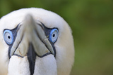 Gannet (Morus Bassanus) Portrait Showing Blue Eyes.Bempton Cliffs Rspb Reserve, UK, Yorkshire, July Photographie par Andy Rouse