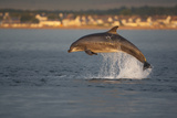 Bottlenose Dolphin (Tursiops Truncatus) Breaching in Evening Light, Moray Firth, Scotland, UK Photographic Print by John Macpherson