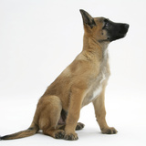 Belgian Shepherd Dog Puppy, Antar, 10 Weeks, Profile Sitting, Looking Up Photographic Print by Mark Taylor