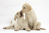 Yellow Labrador Retriever Puppies, 10 Weeks, Touching Noses Photographic Print by Mark Taylor