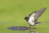Barn Swallow (Hirundo Rustica) Collecting Mud for Nest Building, June, Scotland, UK Photographie par Mark Hamblin