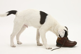 Blue-And-White Jack Russell Terrier Puppy, Scamp, Investigating a Child's Shoe Photographic Print by Mark Taylor