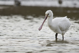 White Spoonbill (Platalea Leucorodia) Feeding with Water Dripping from Bill, Brownsea Island, UK Photographie par Bertie Gregory