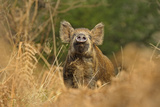 Wild Boar (Sus Scrofa) Female Smelling Air for Scent of Human, Forest of Dean, Gloucestershire, UK Photographic Print by Andy Rouse