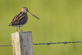 Snipe (Gallinago Gallinago) Perched on Fencepost, Balranald Nature Reserve, Uist, Scotland, UK Photographic Print by Peter Cairns