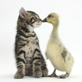 Cute Tabby Kitten, Fosset, 9 Weeks, Nose to Beak with Yellow Gosling Photographic Print by Mark Taylor