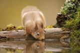 Red Squirrel (Sciurus Vulgaris) Drinking from Woodland Pool, Scotland, UK, November Fotografisk trykk av Mark Hamblin