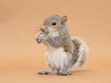Young Grey Squirrel (Sciurus Carolinensis) Domesticated, Eating a Hazelnut Photographic Print by Mark Taylor