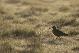 Curlew (Numenius Arquata) in Breeding Habitat in Early Morning Light, Cairngorms Np, Scotland, June Papier Photo par Mark Hamblin
