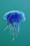 Blue Jellyfish (Cyanea Lamarckii), Feeding on Small Plankton, Lundy Island, Devon, UK Fotografie-Druck von Linda Pitkin