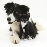 Black-And-White Border Collie Bitch, with Black-And-White Tuxedo Kitten, 10 Weeks Photographic Print by Mark Taylor