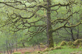 Sessile Oak Tree (Quercus Petraea) in Spring, Sunart Oakwoods, Ardnamurchan, Highland, Scotland, UK Photographic Print by Peter Cairns