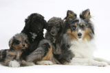 Shetland Sheepdog, Sapphire, and Shetland Sheepdog X Poodle Puppies, 7 Weeks Photographic Print by Mark Taylor
