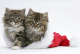 Two Maine Coon Kittens, 8 Weeks, in a Father Christmas Hat Photographic Print by Mark Taylor