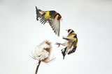 Two Goldfinches (Carduelis Carduelis) Squabbling over Common Teasel Seeds, Cambridgeshire, UK Photographic Print by Mark Hamblin
