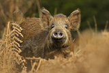 Wild Boar (Sus Scrofa) Female in Woodland Undergrowth, Forest of Dean, Gloucestershire, UK Photographic Print by Andy Rouse