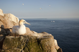 Gannet (Morus Bassanus) on Nest on Cliff. June 2010 Photographic Print by Peter Cairns