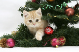 Ginger Kitten Playing with Decorations in a Christmas Tree Photographic Print by Mark Taylor