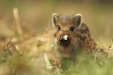Wild Boar Piglet with Leaf Stuck on its Nose, Forest of Dean, Gloucestershire, England, UK Photographic Print by Luke Massey