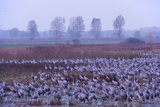 Common Crane (Grus Grus) Flock in Wetlands, Brandenburg, Germany, October 2008 Photographic Print by Florian Möllers