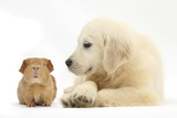 Golden Retriever Puppy, 16 Weeks, Looking at Red Guinea Pig Photographic Print by Mark Taylor