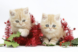 Two Ginger Kittens with Red Christmas Decoations, Tinsel and Holly Berries Photographic Print by Mark Taylor