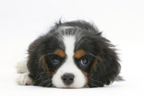 Tricolour Cavalier King Charles Spaniel Puppy, Lying with Chin on Floor Photographic Print by Mark Taylor