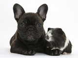 Dark Brindle French Bulldog Puppy, Bacchus, 9 Weeks, with Guinea Pig Photographic Print by Mark Taylor