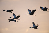 Six Common Cranes (Grus Grus) in Flight at Sunrise, Brandenburg, Germany, October 2008 Photographic Print by Florian Möllers