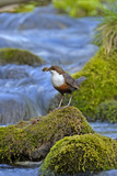 Dipper (Cinclus Cinclus) Standing on Stone in Fast Flowing River, with Food for Chicks, Wales, UK Photographic Print by Andy Rouse