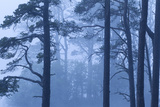 Abernethy Forest Nnr in Dawn Mist. Cairngorms National Park, Scotland, UK, June 2011 Photographic Print by Mark Hamblin