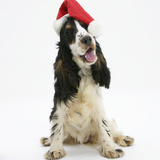 Tricolour English Cocker Spaniel, 7 Months Old, Wearing a Father Christmas Hat Photographic Print by Mark Taylor