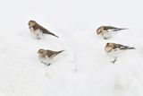 Snow Buntings (Plectrophenax Nivalis) Searching for Food in Snow, Cairngorms Np, Scotland, UK Photographie par Fergus Gill