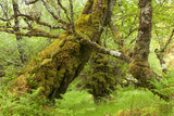 Silver Birch (Betula Pendula) with Trunk Covered in Moss in Natural Woodland, Highlands, Scotland Photographic Print by Mark Hamblin