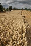 Field of Ripe Oats with Combine Harvester in the Distance, Ellingstring, North Yorkshire, UK Fotografisk tryk af Paul Harris