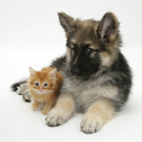 Ginger Kitten with German Shepherd Dog (Alsatian) Bitch Puppy, Echo Fotografisk tryk af Mark Taylor