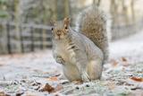 Grey Squirrel (Sciurus Carolinensis) in Urban Park in Winter. Glasgow, Scotland, December Photographic Print by Fergus Gill