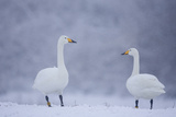 Whooper Swans (Cygnus Cygnus) on Snow, Caerlaverock Wwt, Scotland, Solway, UK, January Photographic Print by Danny Green