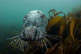 Grey Seal (Halichoerus Grypus) Peering around Kelp, Lundy Island, Bristol Channel, England, May Photographic Print by Alex Mustard