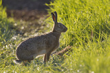 Brown Hare (Lepus Europaeus) in an Arable Field, Scotland, UK Photographic Print by Mark Hamblin