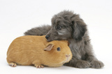 Shetland Sheepdog X Poodle Puppy, 7 Weeks, with Guinea Pig Photographic Print by Mark Taylor