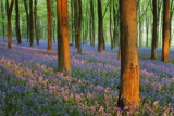 Carpet of Bluebells (Endymion Nonscriptus) in Beech (Fagus Sylvatica) Woodland at Dawn, UK Photographic Print by Guy Edwardes